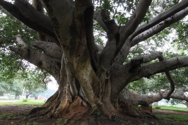 世界の人々の心に宿る巨樹信仰