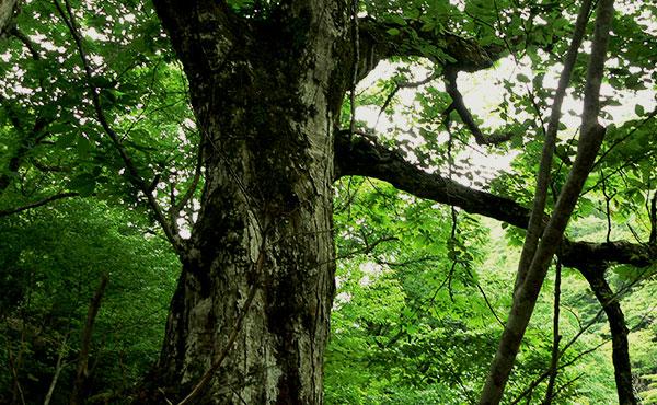 巨樹と信仰
