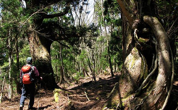 巨樹の森を歩く