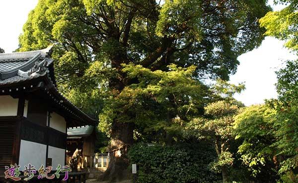 畑山神社のクスノキ01