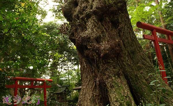 芥川の古社「八阪神社」(大阪府高槻市)の巨樹