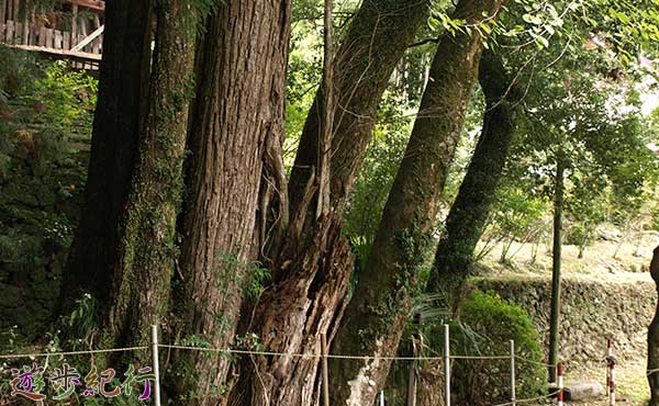 素戔嗚尊神社のカツラ3