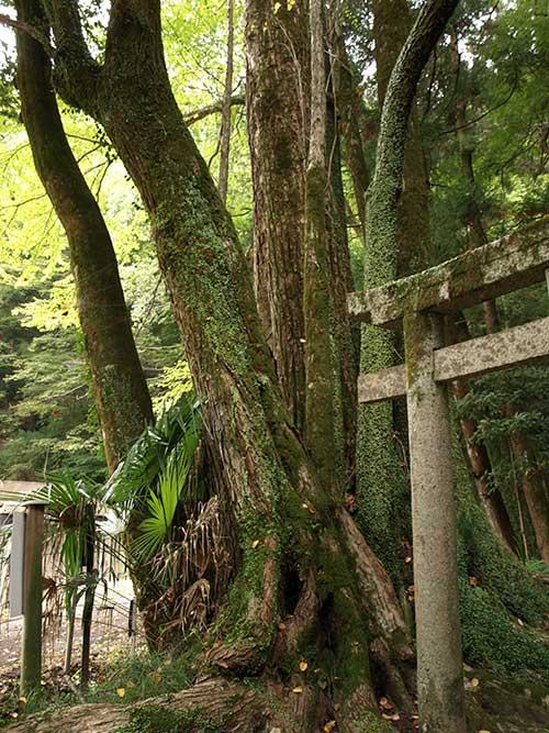 素戔嗚尊神社のカツラ1